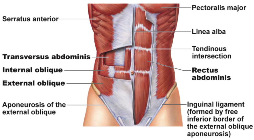 Image result for ab muscles